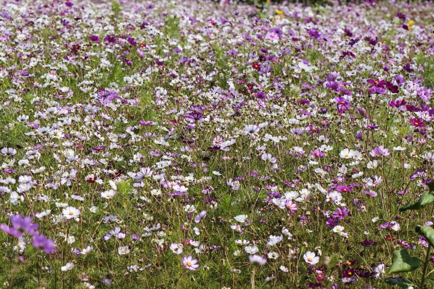 a photo of a feild of Cosmos flowers