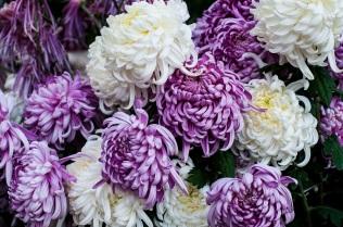 chrysanthemums 1 s