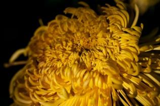 chrysanthemums 10 s