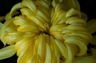 chrysanthemums 11 s