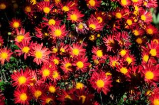 chrysanthemums 12 s