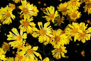 chrysanthemums 13 s