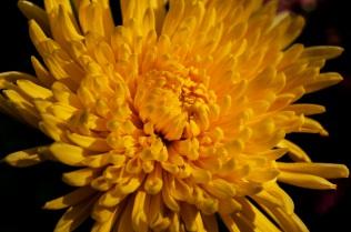 chrysanthemums 14 s