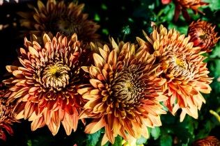 chrysanthemums 15 s