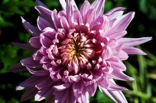 chrysanthemums 19 s