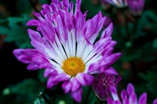chrysanthemums 2 s