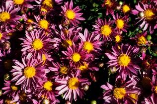 chrysanthemums 20 s