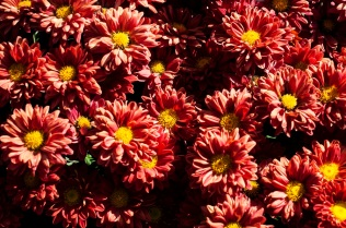 chrysanthemums 21 s
