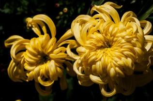 chrysanthemums 22 s