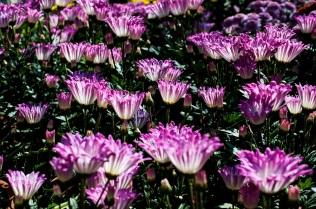 chrysanthemums 23 s