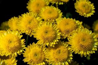 chrysanthemums 24 s