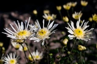 chrysanthemums 25 s