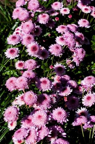 chrysanthemums 26 s