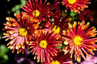 chrysanthemums 27 s