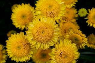 chrysanthemums 3 s