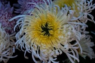 chrysanthemums 30 s