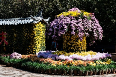 Lijiang Old Town Chrysantemums