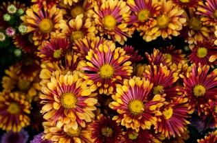 chrysanthemums 35 s