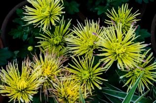 chrysanthemums 5 s