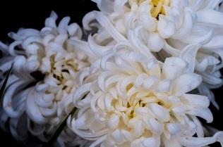 chrysanthemums 6 s