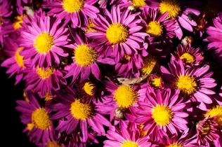 chrysanthemums 7 s