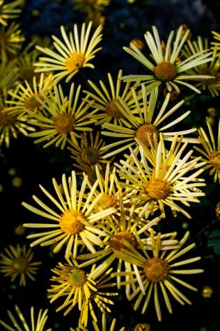 chrysanthemums 8 s