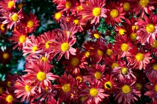 chrysanthemums 9 s