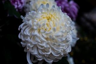chrysanthemums s